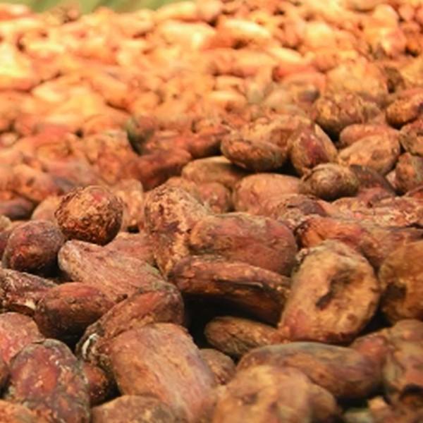 Cacao Santa Helena